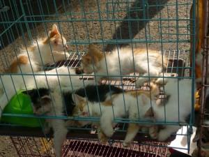 Chats Marché Qingping
