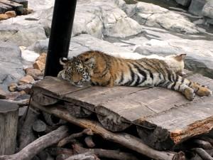 Bébé tigre Safari Park