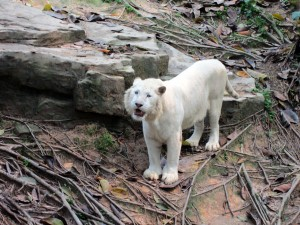 Lion blanc Safari Park Guangzhou