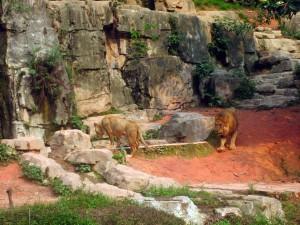 Lions Safari Park Guangzhou