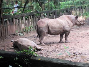 Rhinocéros Safari Park Guangzhou