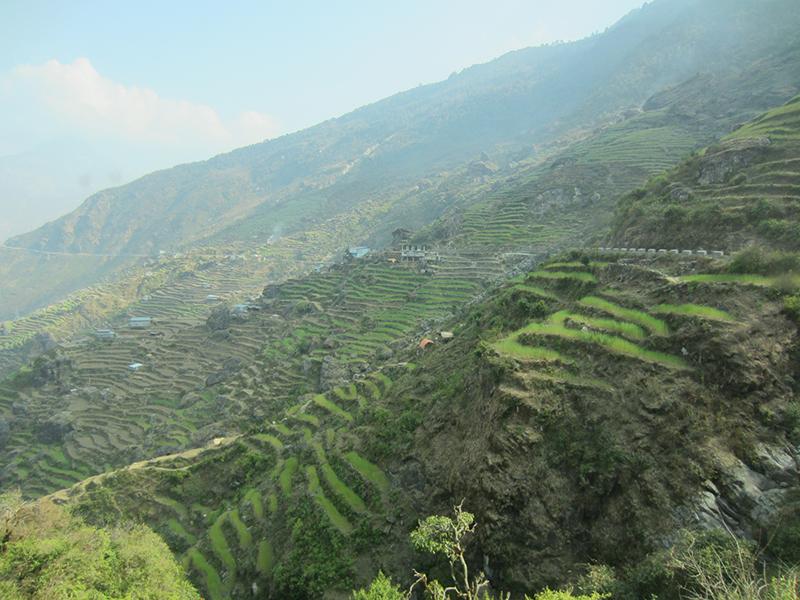 Rizière sur la route du Langtang