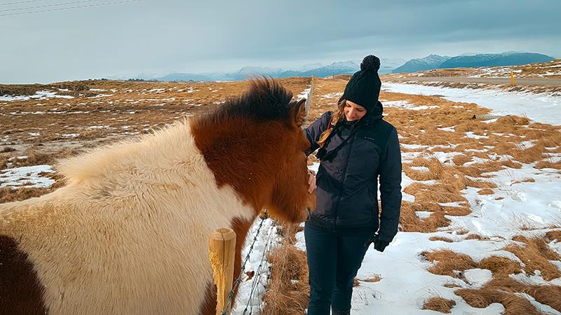 Cheval Islandais poils longs